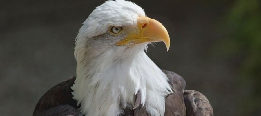 Company trains eagles to take down drones