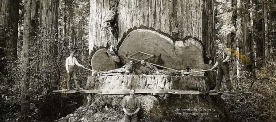 Lumberjacks Who Felled The Giant Redwood Tree's